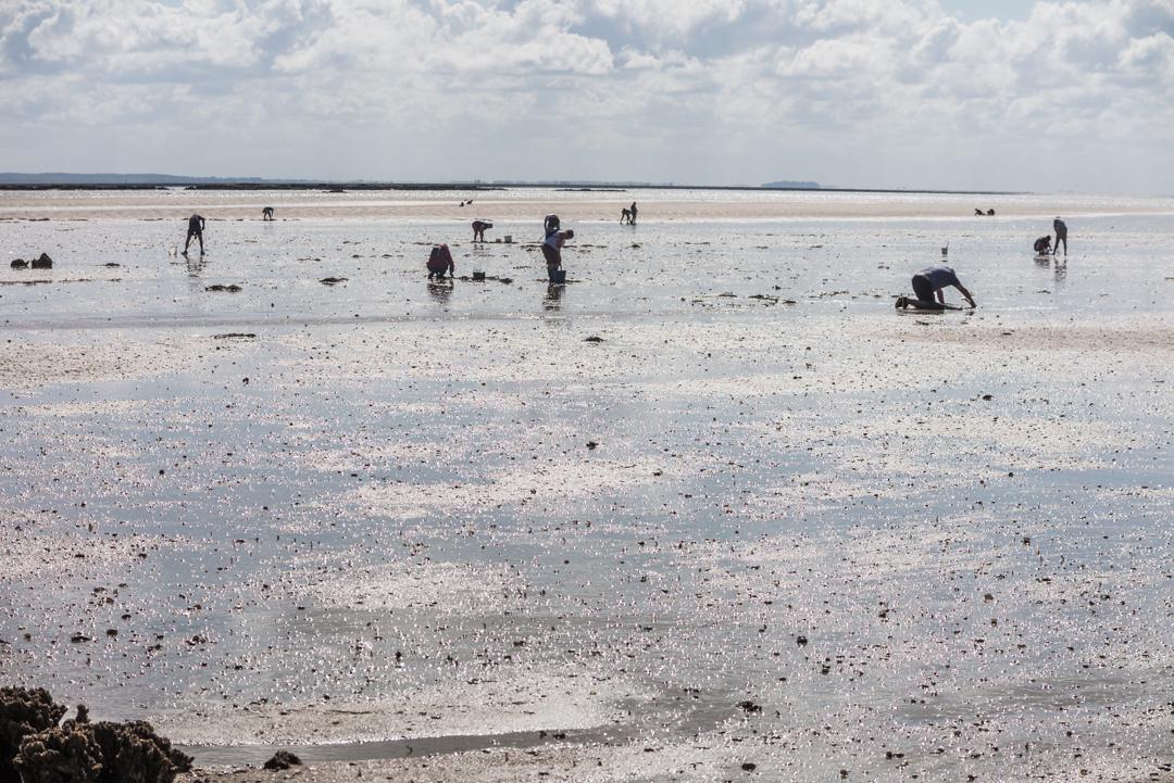 während der Ebbe tauchen zahlreiche Bewohner der Normandie auf, um Muscheln und Austern zu ernten.